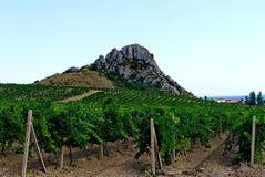 Ampie piantagioni dell'uva sotto un cielo blu sui precedenti di alta scogliera ripida Fotografie Stock Libere da Diritti