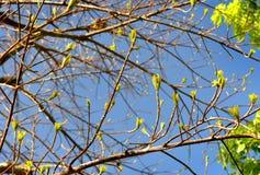Amplíese y las hojas florecientes de la rama de árbol grande Imágenes de archivo libres de regalías