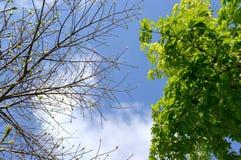 Amplíese y las hojas florecientes de la rama de árbol grande Imagenes de archivo