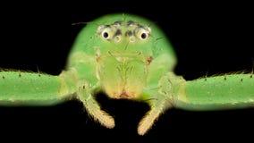 Ampliação extrema - aranha do caranguejo verde Fotografia de Stock