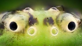 Ampliação extrema - aranha do caranguejo verde Imagem de Stock