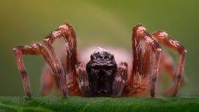 Ampliação extrema - aranha em uma folha, vista dianteira Foto de Stock Royalty Free