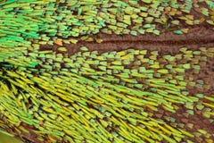 Ampliação extrema - asa da borboleta sob o microscópio Imagens de Stock