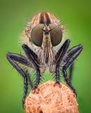 Ampliação extrema - mosca de ladrão Fotos de Stock Royalty Free