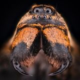 Ampliação extrema - Wolf Spider, Lycosidae Fotos de Stock