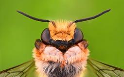 Ampliación extrema - abeja del solitario, Megachilidae Fotos de archivo libres de regalías