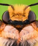 Ampliación extrema - abeja del solitario, Megachilidae Foto de archivo