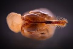 Ampliación extrema - aguijón de la avispa Fotografía de archivo