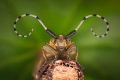 Ampliación extrema - Grey Longhorn Beetle, villosoviridescens de Agapanthia imagen de archivo