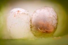 Ampliación extrema - huevos del insecto del hedor Foto de archivo