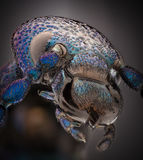 Ampliación extrema - insecto metálico azul, proscarabaeus de Meloe foto de archivo libre de regalías