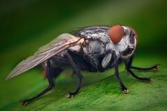 Ampliación extrema - mosca de la casa imagen de archivo libre de regalías