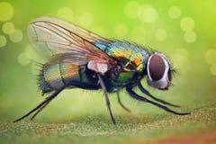 Ampliación extrema - mosca de la casa foto de archivo