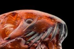 Ampliación extrema - pulga en 50x imagen de archivo libre de regalías