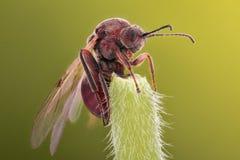 Ampliación extrema - reina de la hormiga foto de archivo libre de regalías