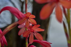 Ampoule d'orange de Watsonia Images stock