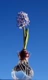 Ampoule de jacinthe en fleur image libre de droits