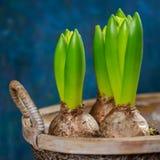 Ampoules de fleur croissantes de jacinthe dans le bac Images libres de droits
