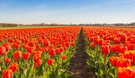 Ampoules de floraison de tulipe de rouge dans un domaine néerlandais Photographie stock