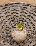 Ampoules de jacinthe Photo libre de droits