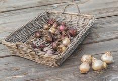 Ampoules de jacinthe dans un panier Image libre de droits