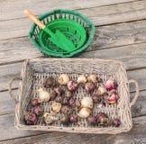 Ampoules de jacinthe dans un panier en osier et une pelle Photographie stock libre de droits