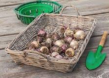 Ampoules de jacinthe dans un panier en osier et une pelle Photographie stock