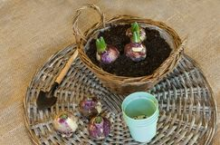 Ampoules de jacinthe dans un panier pour la floraison obligatoire images stock