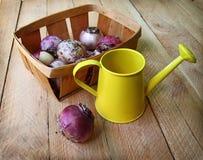 Ampoules de jacinthe dans un panier sur une table en bois Images libres de droits