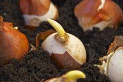 Ampoules de jardin fleurissant de ressort plantées dans des pots Photographie stock