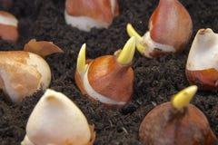 Ampoules de jardin fleurissant de ressort plantées dans des pots Photos stock