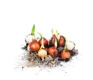 Ampoules de tulipe sur le fond blanc Photo libre de droits