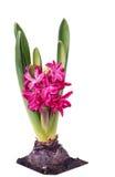 Ampoules fleurissantes de jacinthe Image libre de droits