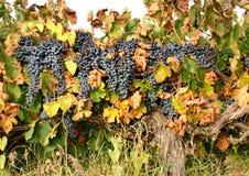 Ampuły muśnięcie ciemni winogrona na winogradzie Jesieni żniwo winogrona Winogrona lat VÃtis dzwonił jagody życie zdjęcia stock