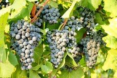 Ampuły muśnięcie ciemni winogrona na winogradzie Jesieni żniwo winogrona Winogrona lat VÃtis dzwonił jagody życie Winnicy Abrau obrazy stock