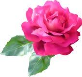 Ampuł menchii róży kwiatu awith dwa liście odizolowywający na bielu ilustracja wektor
