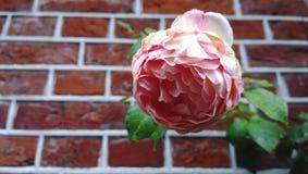 Ampuł menchii róży otwarty pączek przeciw ściana z cegieł Zdjęcia Royalty Free