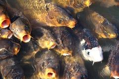 Ampuła łowi karpia w jeziorze.  Rybołówstwo. obraz royalty free