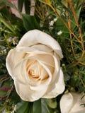 Ampuła bielu otwarta róża w ogródzie zamkniętym w górę obrazy royalty free
