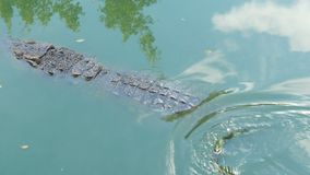 Ampuła długi krokodyl pływa w zielonej wodzie także może krokodyla krokodyli gospodarstwo rolne lokalizować Pattaya przedstawieni zbiory