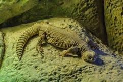 Ampuła girdled jaszczurki z spłaszczonym ciałem w Loro Parque, Dziesięć Obraz Royalty Free