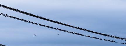 Ampuła Gromadzi się ptaka gromadzenia się wieczór telefonu Elektrycznych druty Obraz Royalty Free