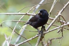 Ampuła Gruntuje Finch & x28; Geospiza magnirostris& x29; - Galapagos wyspy, Ekwador zdjęcia royalty free