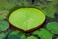 Ampuła liście lotosowi obrazy royalty free