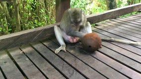 Ampuła małpuje makaków napojów kokosowego sok od zielonego wielkiego koksu, 4k materiału filmowego wideo zbiory wideo