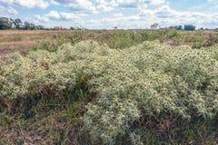 Ampuła odpowiada eryngo rośliny r w dzikiej naturze Zdjęcie Royalty Free