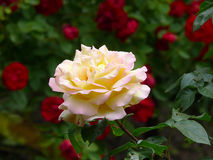 Ampuła, piękna wzrastał Obraz Royalty Free