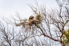 Ampuła popierający sępa obsiadanie na swój gniazdeczku Fotografia Stock