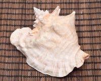 Ampuła różowi królowej konchy seashell Obraz Royalty Free