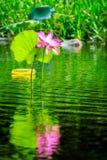 Ampuła różowi lotosowego kwiatu odbijającego w wodzie przy Corroboree bagnami, NT, Australia obraz stock
